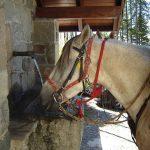 chevaux à la fontaine