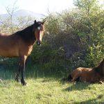 chevaux au pré
