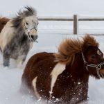 poney neige